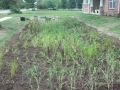 2014-06-20-rain-garden-2